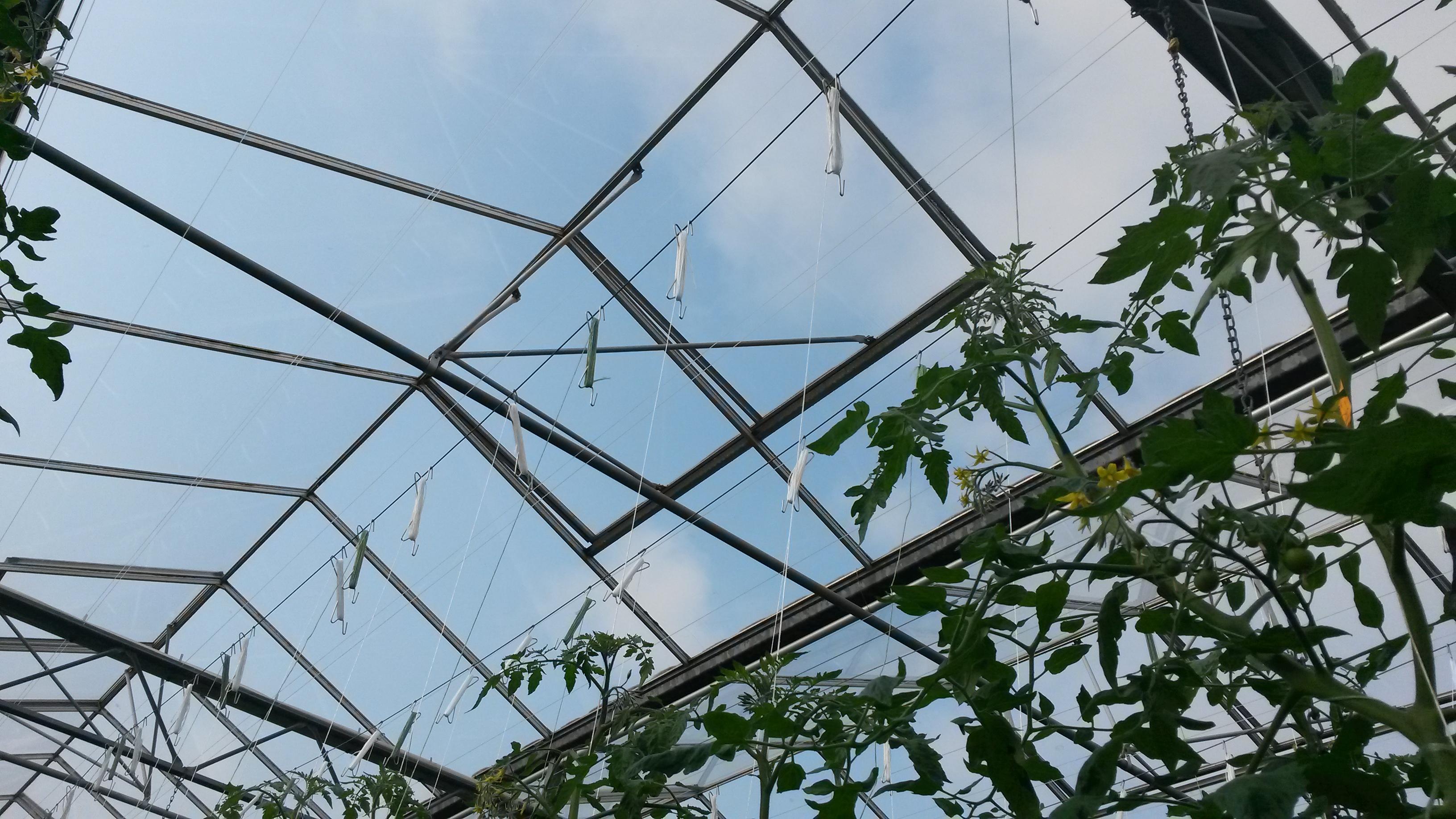 begin tomatenplant in de kas